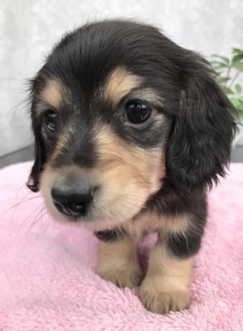 カニンヘンダックスフンド(ロング)の子犬(ID:1247011024)の1枚目の写真/更新日:2017-01-03