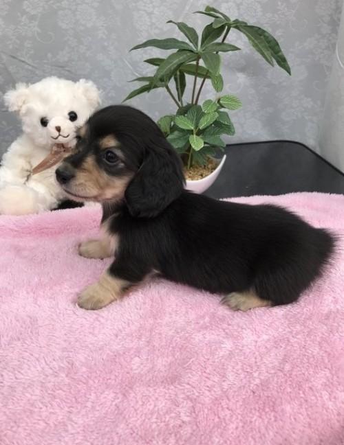 カニンヘンダックスフンド(ロング)の子犬(ID:1247011024)の2枚目の写真/更新日:2017-01-03