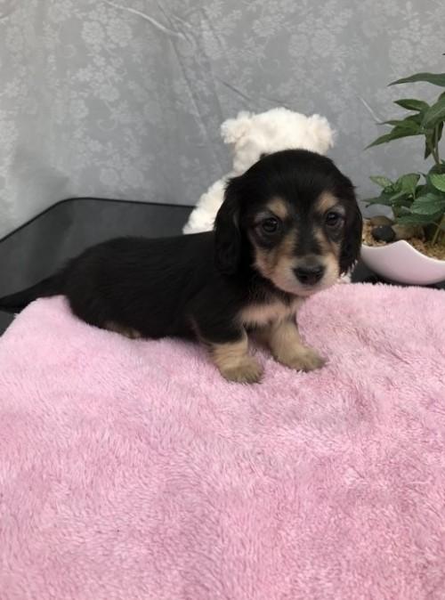 カニンヘンダックスフンド(ロング)の子犬(ID:1247011024)の3枚目の写真/更新日:2017-01-03