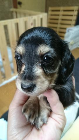 カニンヘンダックスフンド(ロング)の子犬(ID:1247011028)の1枚目の写真/更新日:2017-08-14
