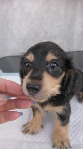 カニンヘンダックスフンド(ロング)の子犬(ID:1247011029)の1枚目の写真/更新日:2018-08-14