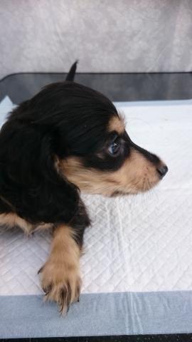 カニンヘンダックスフンド(ロング)の子犬(ID:1247011029)の2枚目の写真/更新日:2018-08-14