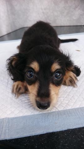 カニンヘンダックスフンド(ロング)の子犬(ID:1247011029)の4枚目の写真/更新日:2018-08-14
