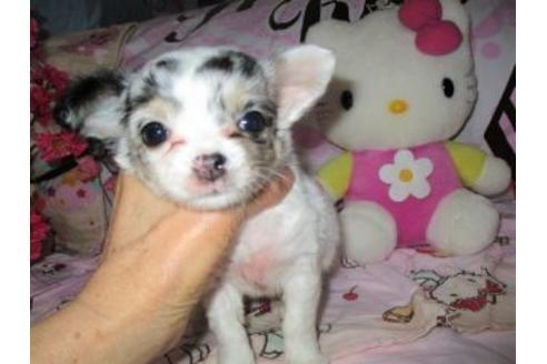 チワワ(ロング)の子犬(ID:1247311004)の1枚目の写真/更新日:2021-02-19