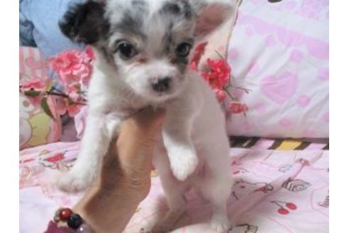 チワワ(ロング)の子犬(ID:1247311004)の2枚目の写真/更新日:2021-02-19
