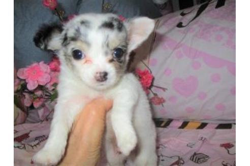 チワワ(ロング)の子犬(ID:1247311004)の3枚目の写真/更新日:2021-02-19