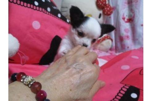 チワワ(ロング)の子犬(ID:1247311005)の2枚目の写真/更新日:2020-10-26