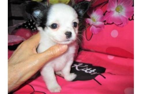 チワワ(ロング)の子犬(ID:1247311005)の3枚目の写真/更新日:2020-10-26