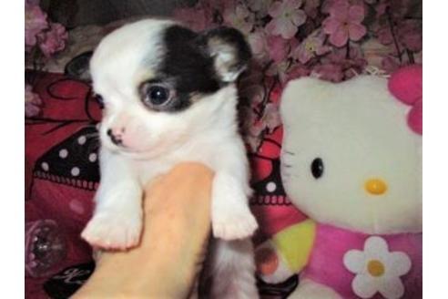 チワワ(ロング)の子犬(ID:1247311006)の2枚目の写真/更新日:2021-03-22