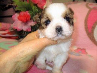 ミックスの子犬(ID:1247311069)の2枚目の写真/更新日:2017-01-26