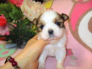 ミックスの子犬(ID:1247311069)の3枚目の写真/更新日:2017-01-26