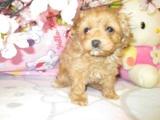 ミックスの子犬(ID:1247311070)の1枚目の写真/更新日:2017-03-20