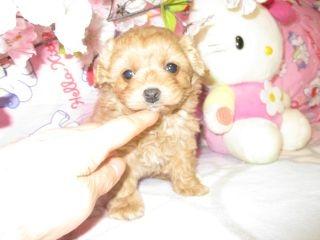 ミックスの子犬(ID:1247311070)の3枚目の写真/更新日:2017-03-20