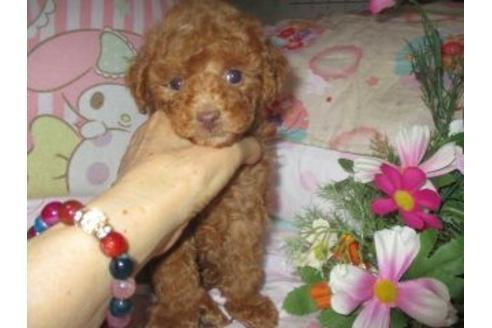 トイプードルの子犬(ID:1247311072)の1枚目の写真/更新日:2020-09-22