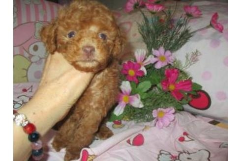 トイプードルの子犬(ID:1247311072)の2枚目の写真/更新日:2020-09-22