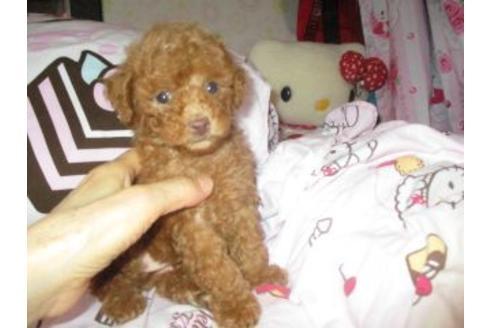 トイプードルの子犬(ID:1247311072)の3枚目の写真/更新日:2020-09-22