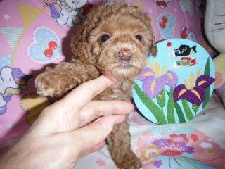 トイプードルの子犬(ID:1247311073)の1枚目の写真/更新日:2017-04-21