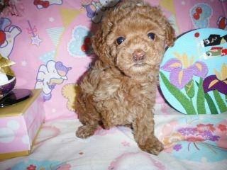トイプードルの子犬(ID:1247311073)の2枚目の写真/更新日:2017-04-21