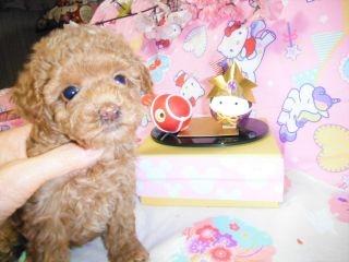 トイプードルの子犬(ID:1247311073)の3枚目の写真/更新日:2017-04-21