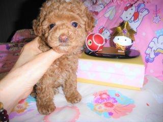 トイプードルの子犬(ID:1247311073)の4枚目の写真/更新日:2017-04-21