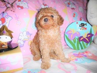 トイプードルの子犬(ID:1247311074)の1枚目の写真/更新日:2017-04-21