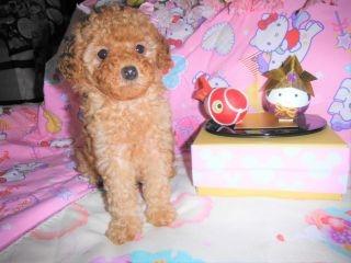 トイプードルの子犬(ID:1247311074)の2枚目の写真/更新日:2017-04-21