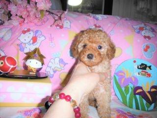 トイプードルの子犬(ID:1247311074)の3枚目の写真/更新日:2017-04-21