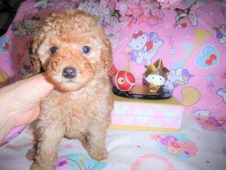 トイプードルの子犬(ID:1247311074)の4枚目の写真/更新日:2017-04-21
