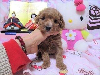 トイプードルの子犬(ID:1247311075)の1枚目の写真/更新日:2017-04-12