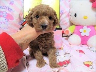 トイプードルの子犬(ID:1247311075)の2枚目の写真/更新日:2017-04-12
