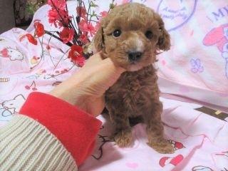 トイプードルの子犬(ID:1247311075)の3枚目の写真/更新日:2017-04-12