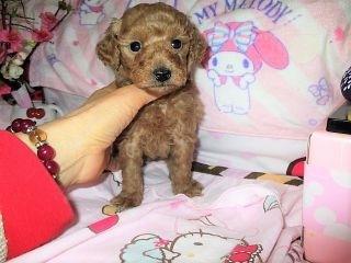 ミックスの子犬(ID:1247311076)の2枚目の写真/更新日:2017-04-15
