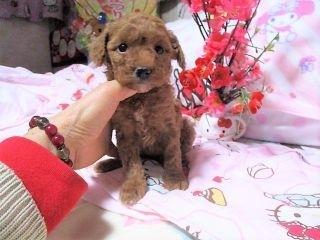 トイプードルの子犬(ID:1247311077)の1枚目の写真/更新日:2017-04-25