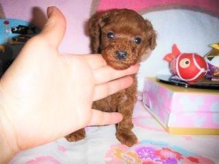 トイプードルの子犬(ID:1247311078)の1枚目の写真/更新日:2017-04-25