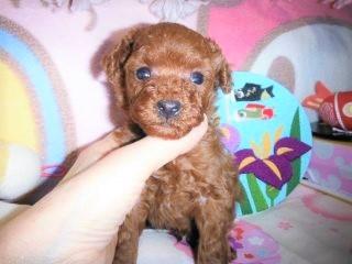トイプードルの子犬(ID:1247311078)の2枚目の写真/更新日:2017-04-25