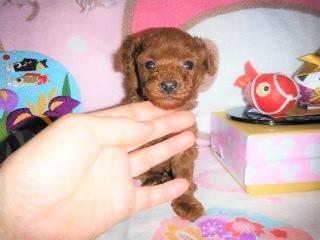 トイプードルの子犬(ID:1247311078)の4枚目の写真/更新日:2017-04-25