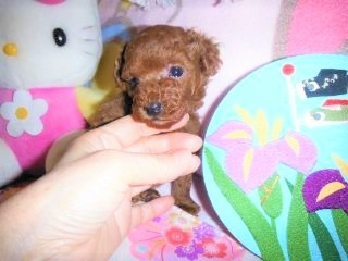 トイプードルの子犬(ID:1247311078)の5枚目の写真/更新日:2017-04-25