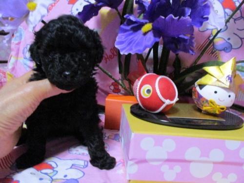 トイプードルの子犬(ID:1247311079)の1枚目の写真/更新日:2017-05-07