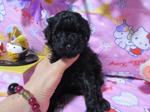 トイプードルの子犬(ID:1247311079)の2枚目の写真/更新日:2017-05-07