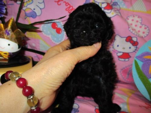 トイプードルの子犬(ID:1247311079)の3枚目の写真/更新日:2017-05-07
