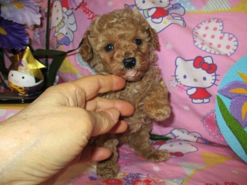 トイプードルの子犬(ID:1247311080)の1枚目の写真/更新日:2017-05-07