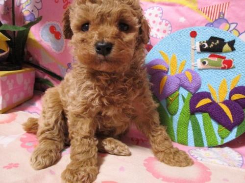 トイプードルの子犬(ID:1247311080)の2枚目の写真/更新日:2017-05-07