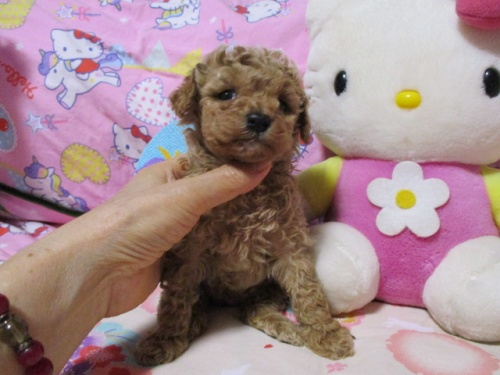 トイプードルの子犬(ID:1247311080)の3枚目の写真/更新日:2017-05-07