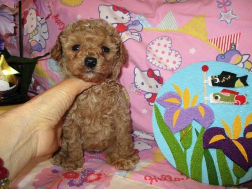 トイプードルの子犬(ID:1247311080)の4枚目の写真/更新日:2017-05-07