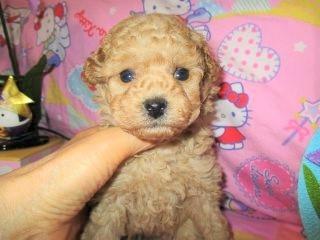 トイプードルの子犬(ID:1247311081)の1枚目の写真/更新日:2017-05-07
