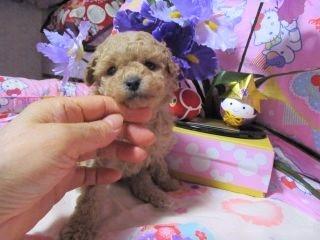 トイプードルの子犬(ID:1247311081)の2枚目の写真/更新日:2017-05-07