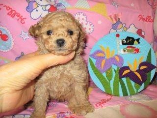 トイプードルの子犬(ID:1247311081)の3枚目の写真/更新日:2017-05-07
