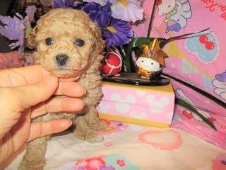 トイプードルの子犬(ID:1247311081)の4枚目の写真/更新日:2017-05-07