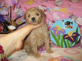 トイプードルの子犬(ID:1247311082)の1枚目の写真/更新日:2017-05-07