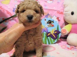 トイプードルの子犬(ID:1247311082)の2枚目の写真/更新日:2017-05-07
